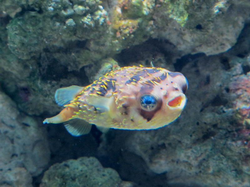 Happy porcupine puffer