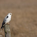 White-tailed Kite, Elanus leucurus by ashleytisme
