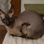 Irwin the Cornish Rex