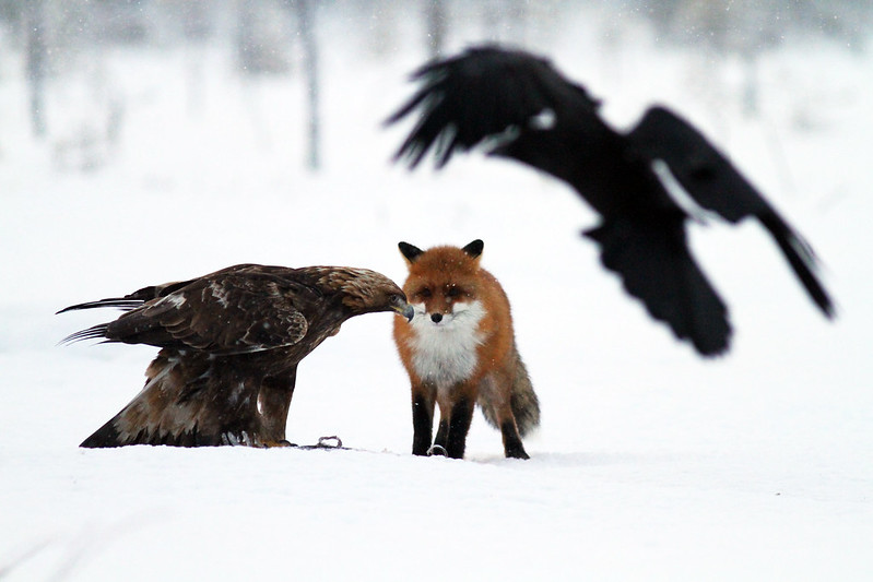 Fox vs. eagle (raven in foreground)