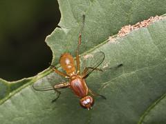 Sepsid scavenger fly