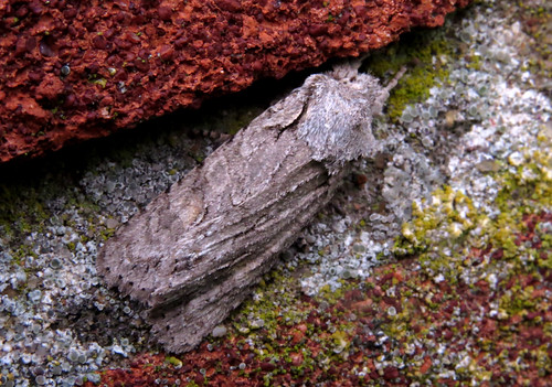 Grey Shoulder-knot Lithophane ornitopus Tophill Low NR, East Yorkshire January 2016