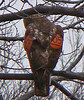 Red-tailed Hawk with winger marker 405