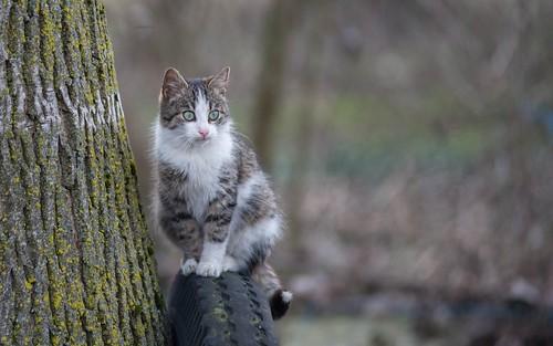 cats animals kitty croatia catsdogs animalplanet podravina hrvatska nikkor8020028 nikond600