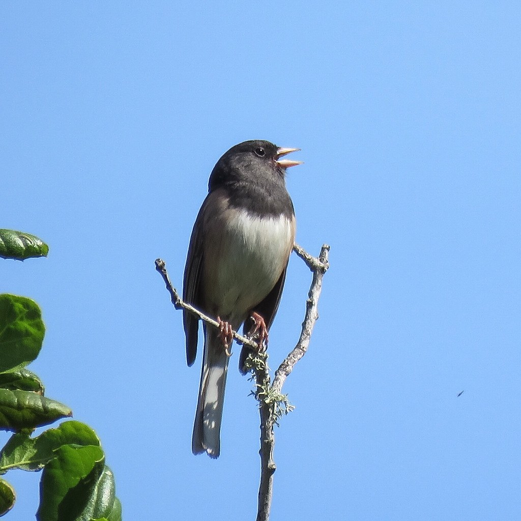 Dark-eyed junco belts out his trill like song.