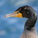 Double-crested Cormorant by Insu Nuzzi
