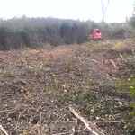 Geoboy taking down invasive buckthorn