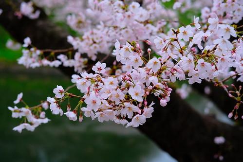 Pop Color Sakura viewing at Chidorigafuchi moat 06