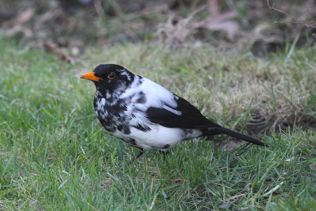 A Blackbird with albinism