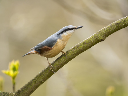 Nuthatch, The Lodge RSPB, 9th April 2016