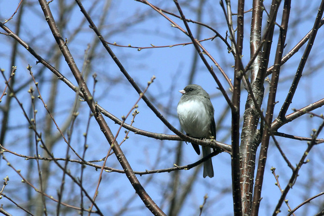 Junco in Pin Cherry
