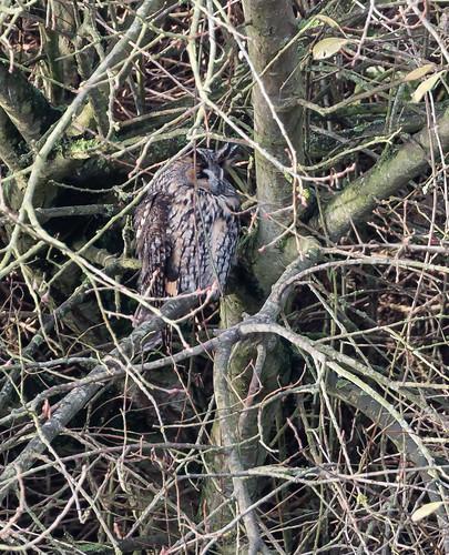 Long-eared Owl 027 (316)