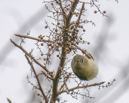 Ruby-crowned Kinglet on Poison Ivy