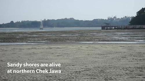 Typical sandy shore creatures at north Chek Jawa