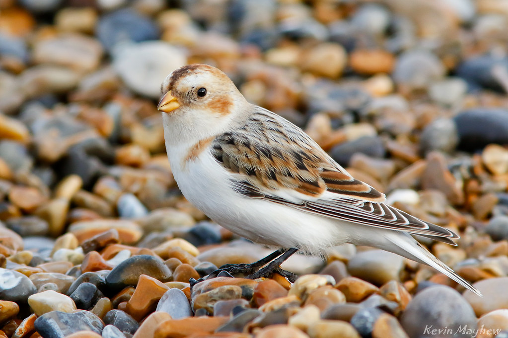Snow Bunting_82A0220