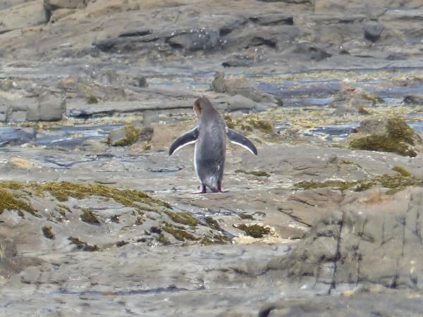 Pingouin !