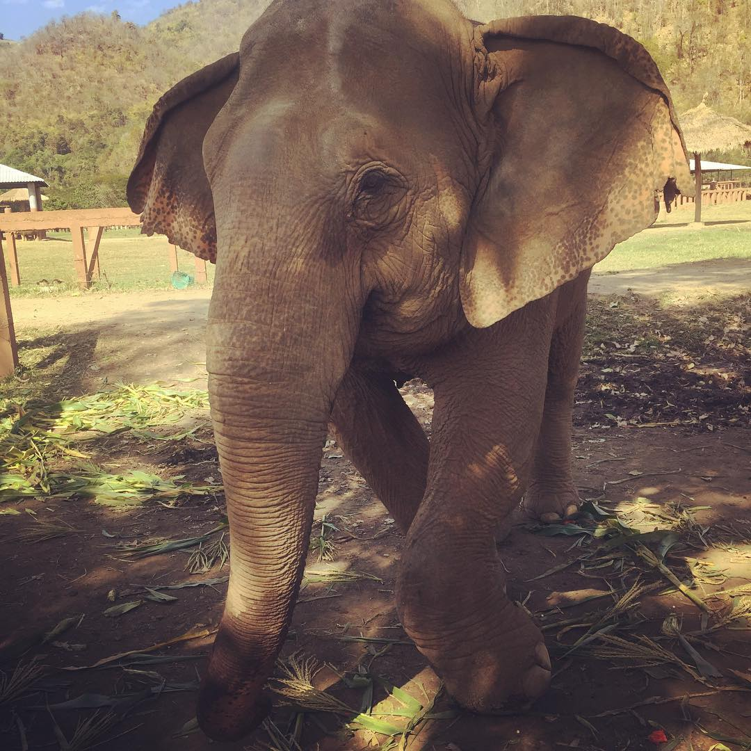 This gentle giant is called Kapu. She lives in the Elephant Nature Park near Chiang Mai, where she was brought a few months ago after being badly injured. She had rolled down a hill and broken her leg. The leg will unfortunately never fully recover becaus
