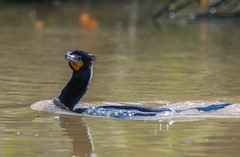 Double Crests forming: Double-crested Cormorant (Phalacrocorax auritus)