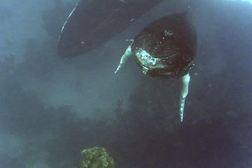 humpback calf with mother