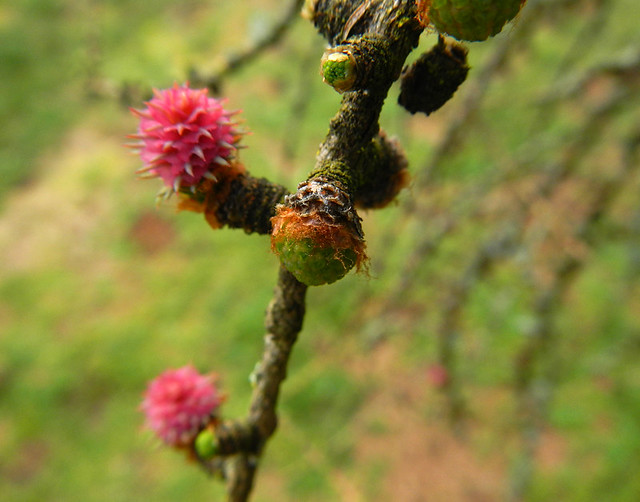 the pink flower buds of the Larch tree in February