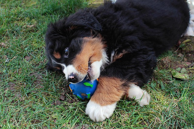 Aria the Berner