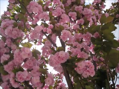 Sakuralar
