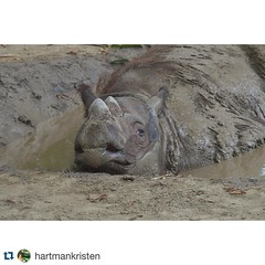Happy birthday Harapan! #Repost @hartmankristen・・・Happy 9th birthday to this cute boy :heart_eyes: I'm so glad I met you and found a love for rhinos I never knew I had! Hope you're loving Sumatra and have endless mud wallows and apples! Enjoy your first o