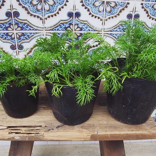 【ハーブの苗をお譲りしています&臨時休業のお知らせ】昨秋からたま茶FARM用につくっていたハーブの苗が少し余分がでそうなので、店頭の方でご希望の方にお譲りしています。土は無農薬で、腐葉土・砂・燻炭・鹿沼土・牡蠣殻石灰などをつかったとってもシンプルなものになっています。主に、ジャーマン・カモマイル(ティーでよく使われてお花が香ります)。カレンデュラ(ポットマリーゴールド)とローマン・カモマイル(こちらは葉なども香ります。野菜のコンパニオンプランツとしてもGOOD)も少しあります。数に限りございますし、時期が