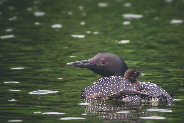 Loon with baby - Algonquin Park, ON, Canada