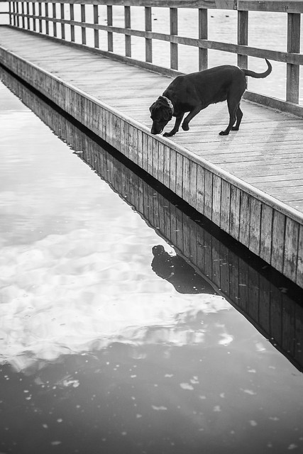 Confused little Lab and reflection - De Gavers, Belgium