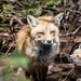 La Famille Renard /Fox Family (1) by Joanne Levesque