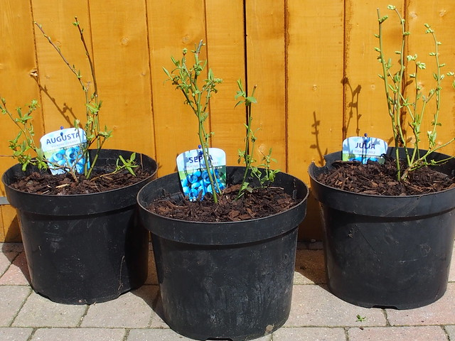 Blueberry trio, potted on