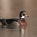 Canard branchu / Wood Duck by richard_morel