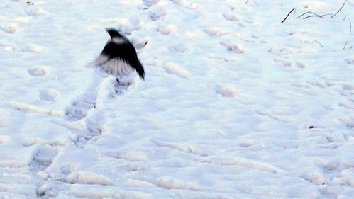 sverigexmas-magpiesC04182