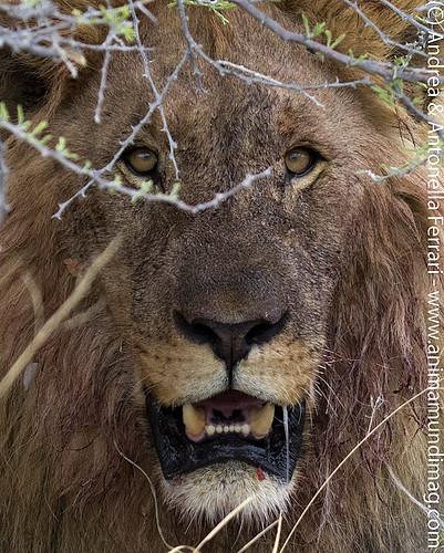 AnimaMundiMagazine posted a photo:African Lion Panthera leo, male, Etosha NP, Namibia