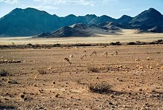 Springbockherde im im Aba-Huab Gebiet, Damaraland