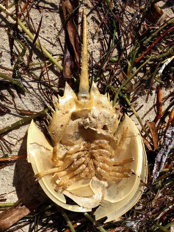 Horseshoe Crab exoskeleton