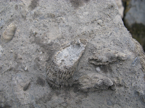 Arethusa-fossil