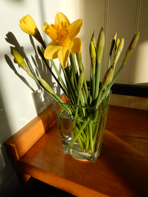 first daffodils of the year (1)