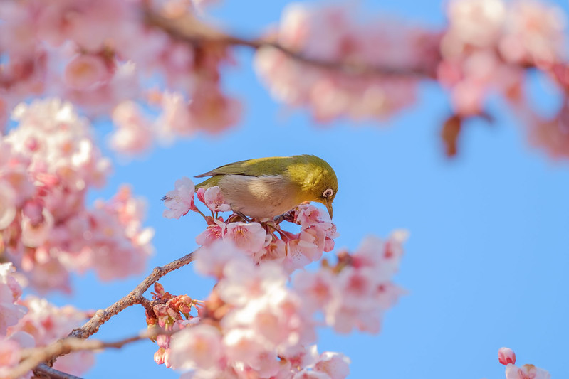 Japanese-White-Eye with Cherry Blossoms
