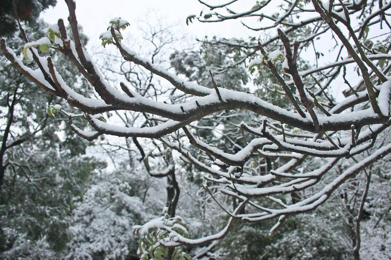 2016-台北陽明山-瑞雪-難得一見的雪白山景-17度C隨拍 (90)
