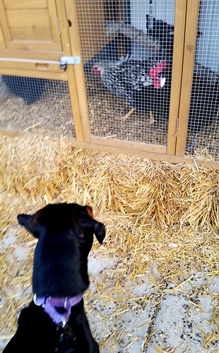 Doberman puppy curious about chickens ©LapdogCreations #LapdogCreations