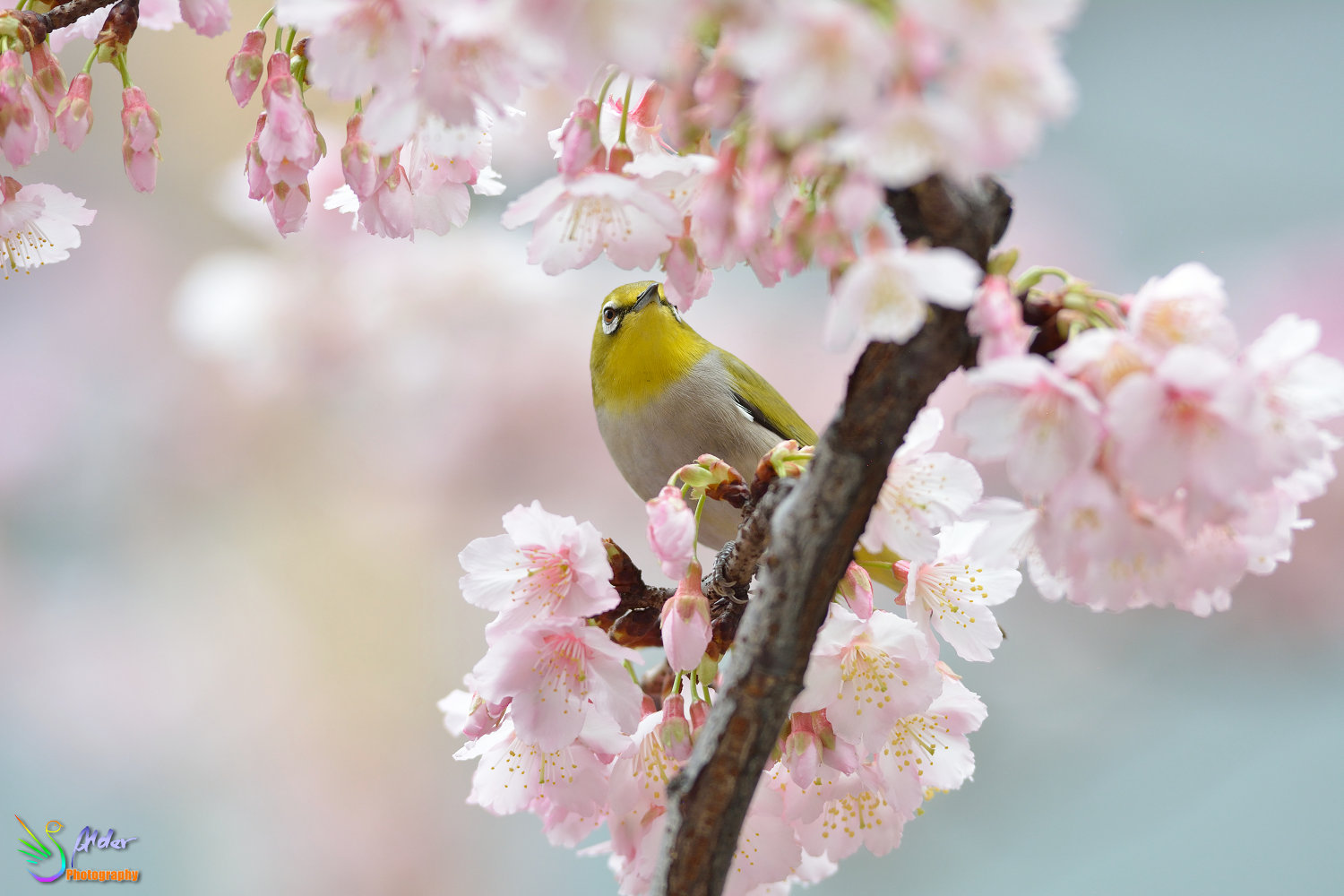 Sakura_White-eye_6565