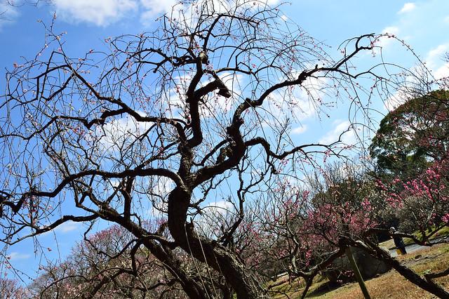 シダレウメ Plum blossoms