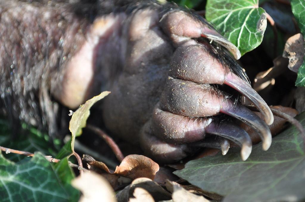 Badger Paw Animal