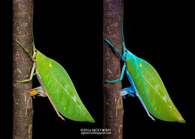 Leaf-mimic katydid ovipositing (Tettigoniidae) - Tettigoniidae_DSC_7628