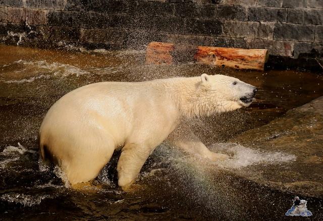 Eisbär Fiete im Zoo Rostock 16.04.2016  156