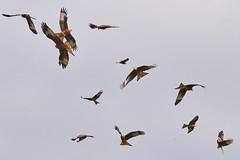 red kites, Gigrin Farm kite feeding station