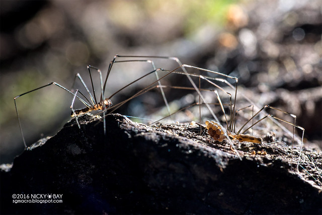 Daddy-long-legs spider (Pholcidae) - DSC_9011
