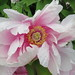 Tree Peony Blossom in the Rain by Spidra Webster